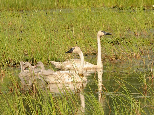 A family of trumpeter swans — a species once thought