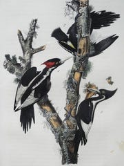 "A rarely seen ""Ivory Bill Woodpecker"" Royal Octavo by John James Audubon."