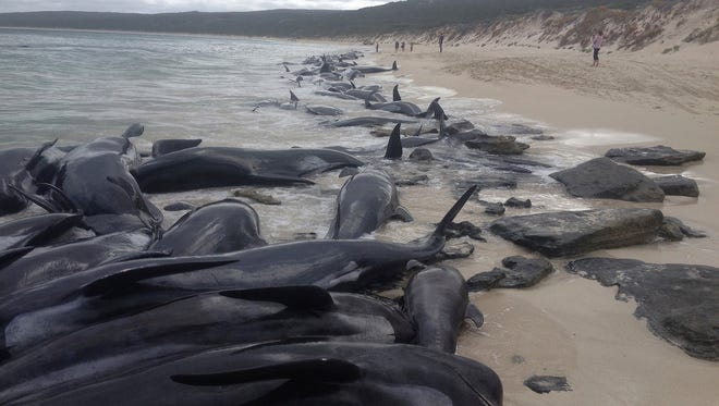 Supplied image of more than 150 short-finned pilot whales who became beached at Hamelin Bay, in Western Australia's south, on March 23, 2018.