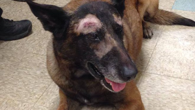 Mesa K9 Jake, after surgery for injuries he received during an officer-involved shooting on April 26, 2014.