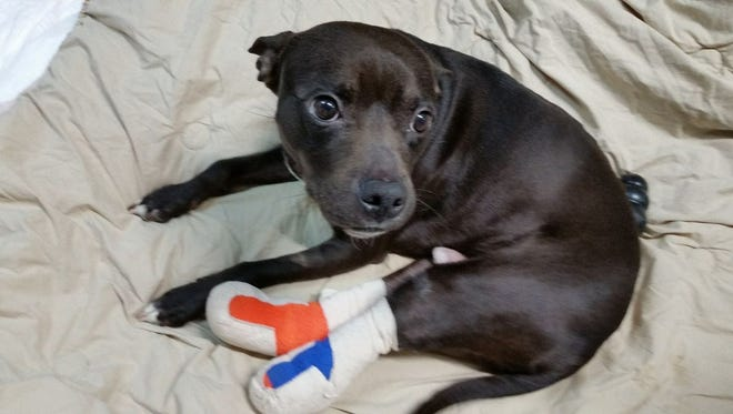 Dan the Dog is in a foster home awaiting his prosthetic legs.