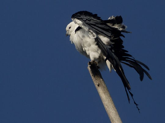 A swallow-tailed kite shakes off in the Big Cypress