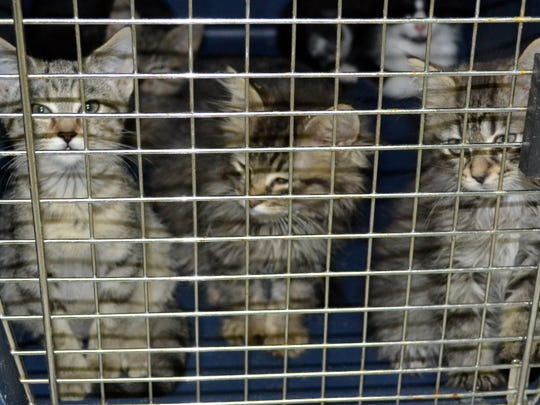 """These fluffy almost lion faced looking kittens are available for adoption at SVASC. The animal shelter in Lyndhurst is running out of room for kittens and had to make some """"difficult decisions"""" that resulted in the euthanasia of five cats."""