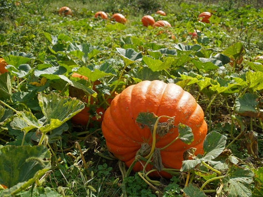 A huge pumpkin rest in a field at H.G. Haskell Farm