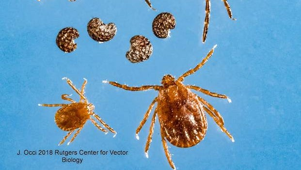 "The Haemaphysalis longicornis tick, commonly known as the ""longhorned tick,"" was recently discovered in seven states. Pennsylvania health officials announced in August 2018 that the longhorned tick was found in the state. The photo shows in the top row the black-legged/deer tick family; the center row are poppy seeds; while the bottom row are nymph and adult longhorned ticks, according to the New York State Department of Health."