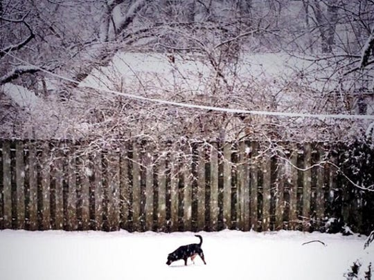 Ripsy sniffs out her snowy backyard in Indianapolis.