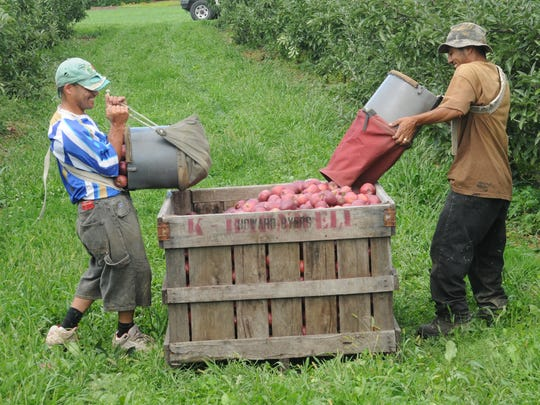 Recent warm weather can encourage apple trees to bloom too early, making them susceptible to a killing freeze later. That hasn't happen so far this year, but recent warm temperatures are worrisome to apple growers. In this file photo, Oscar Picon, left, and his brother Arturo gather  the apple crop at Kenny Barnwell Orchards.