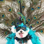 "FLORIDA TODAY FILE This ?proud peacock? was the winner of the costume contest at Mardi Gras Paws in the Park in February. The Brevard Humane Society will host its 13th annual Paws in the Park from 10 a.m. to 2 p.m. Oct. 31 at Wickham Park Pavilion at Eastern Florida State College's Melbourne campus. Sponsorship opportunities are available for individuals and businesses. FLORIDA TODAY FILE Lavishly costumed dogs are a common sight at Mardi Gras Paws in the Park. This ""proud peacock"" was the winner of the costume contest. Zoe, a Maltese, is owned by Scott and Sherrie Smith, of Clermont. Central Brevard Humane Society hosted the Mardi Gras Paws in the Park Sunday at Riverfront Park in Cocoa. Photos by TIM SHORTT/ FLORIDA TODAY Proud Peacock. Winner of the costume contest was ""Zoe"", the Maltese, owned by Scott and Sherrie Smith, of Clermont. Central Brevard Humane Society's Mardi Gras ""Paws in the Park"" on Sunday, February 23rd at Riverfront Park in Cocoa Village. The event included a dog parade, a costume contest , best pet trick, pet / companion Look-a-Like, and King and Queen of the Park."