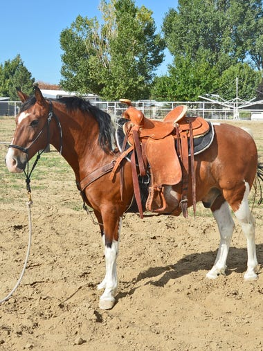 Joe is a nice, 13-year-old paint gelding standing about