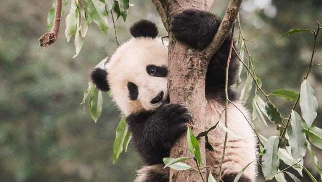 Giant pandas live in scattered populations in the wet, cool bamboo forests of China's mountainous Sichuan, Shaanxi and Gansu provinces, making it difficult for scientists to monitor their populations and extinction risks.