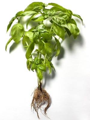 Basil's history in warm climates may explain our craving to bring it back each summer.