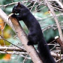 Outdoors: Squirrels take on an unusual color phase