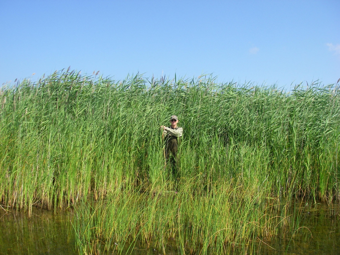 Invasive species phragmites australis overtakes a Michigan