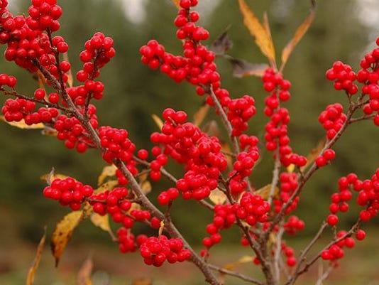 -Winterberry.jpg_20111212.jpg
