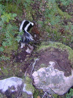 Columnist Doug Berdan watched this skunk from his tree stand.