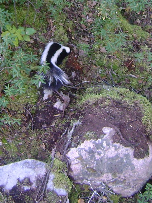 02.15.15 - Skunk from my Tree Stand.jpg