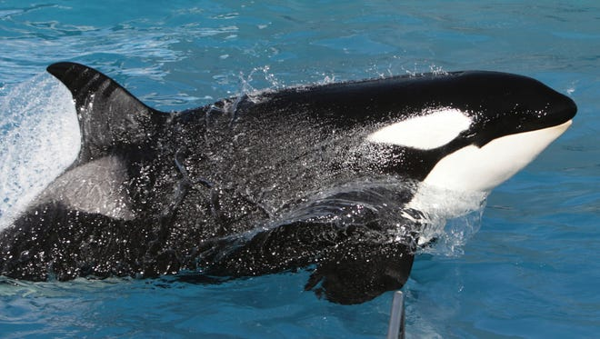 Not really Shamu. But if you want to believe it is, knock yourself out.