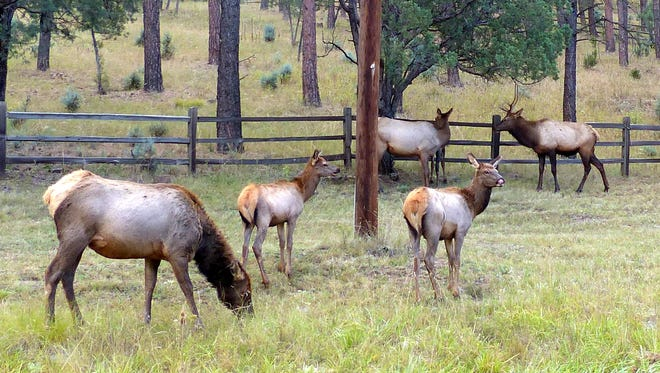 Part of an elk herd grazes on grass and forbs on Hull Road to bulk up for the winter.