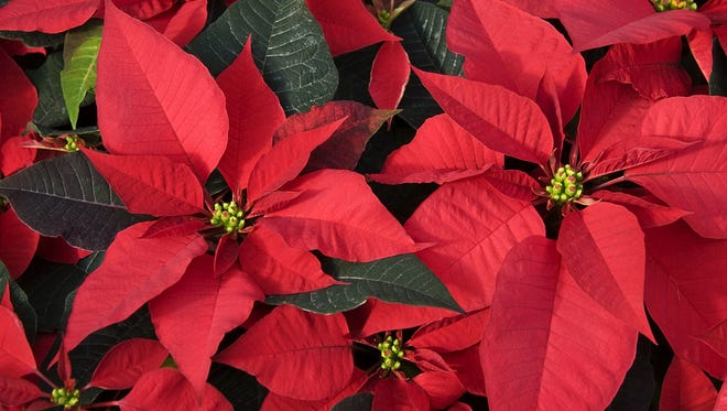 Because poinsettias are true short-day (or long-night) plants, light control is essential to triggering bloom.