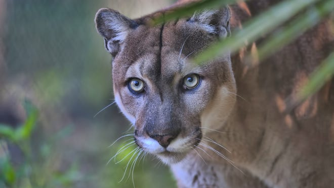 There are an estimated 180 Florida panthers throughout the state, a population thinned by development.