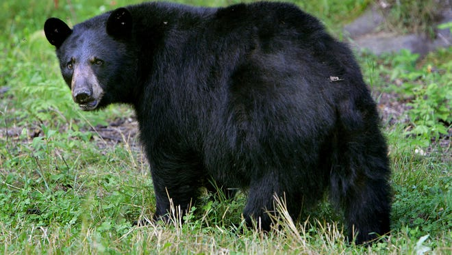 A black bear is seen in Lyme, New Hampshire, in August 2007.