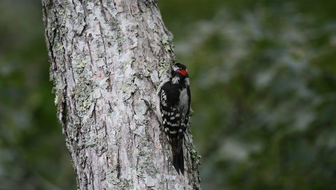 Here is a male smallest woodpecker.