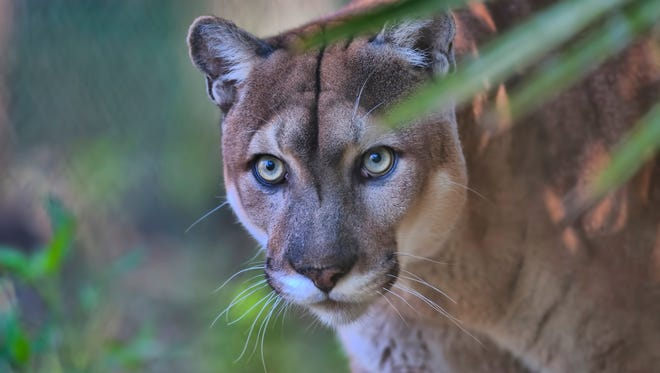 An example of a Florida panther walking through palmetto trees in Charlotte County.