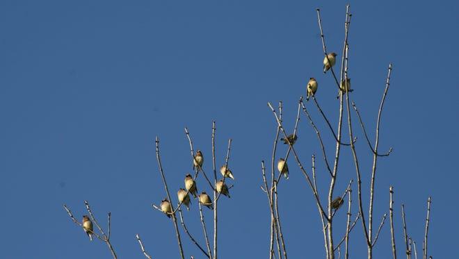 Flocks of wintering cedar waxwings stay into June before heading north to their breeding habitat.