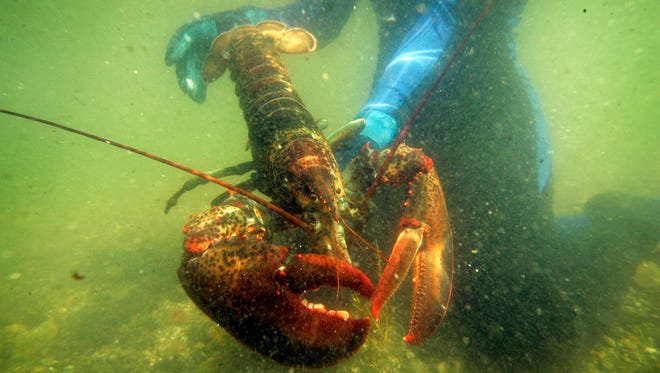 In this July 2007, file photo, a scientist holds a lobster underwater on Friendship Long Island, Maine.