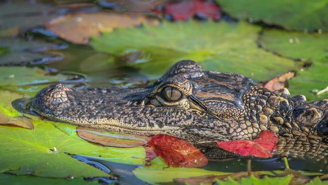 Tom Claud found a small alligator resting in the lily pads at White City Park in Fort Pierce.