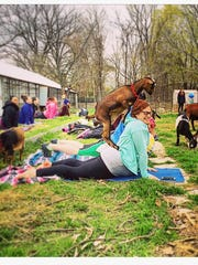 A goat attempts a piggyback move during an outdoor yoga session at Golder Walsh in Pontiac.