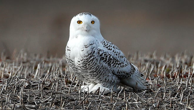 A snowy owl stands in a field just east of the Indianapolis Regional airport in Greenfield.