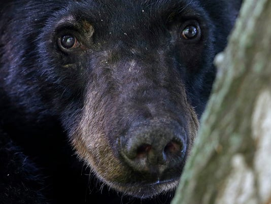 AP LOUISIANA BLACK BEARS PROTECTION A FILE USA LA