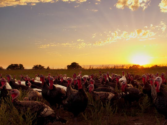 A group of free-range turkeys wander on Good Shephard