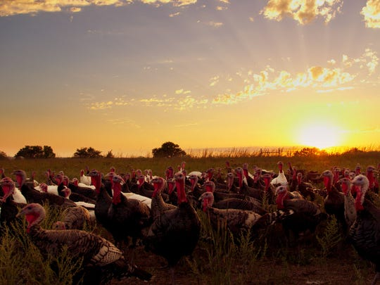"""A group of free-range turkeys wander on Good Shephard Poultry Ranch in the agriculture documentary """"Eating Animals."""""""