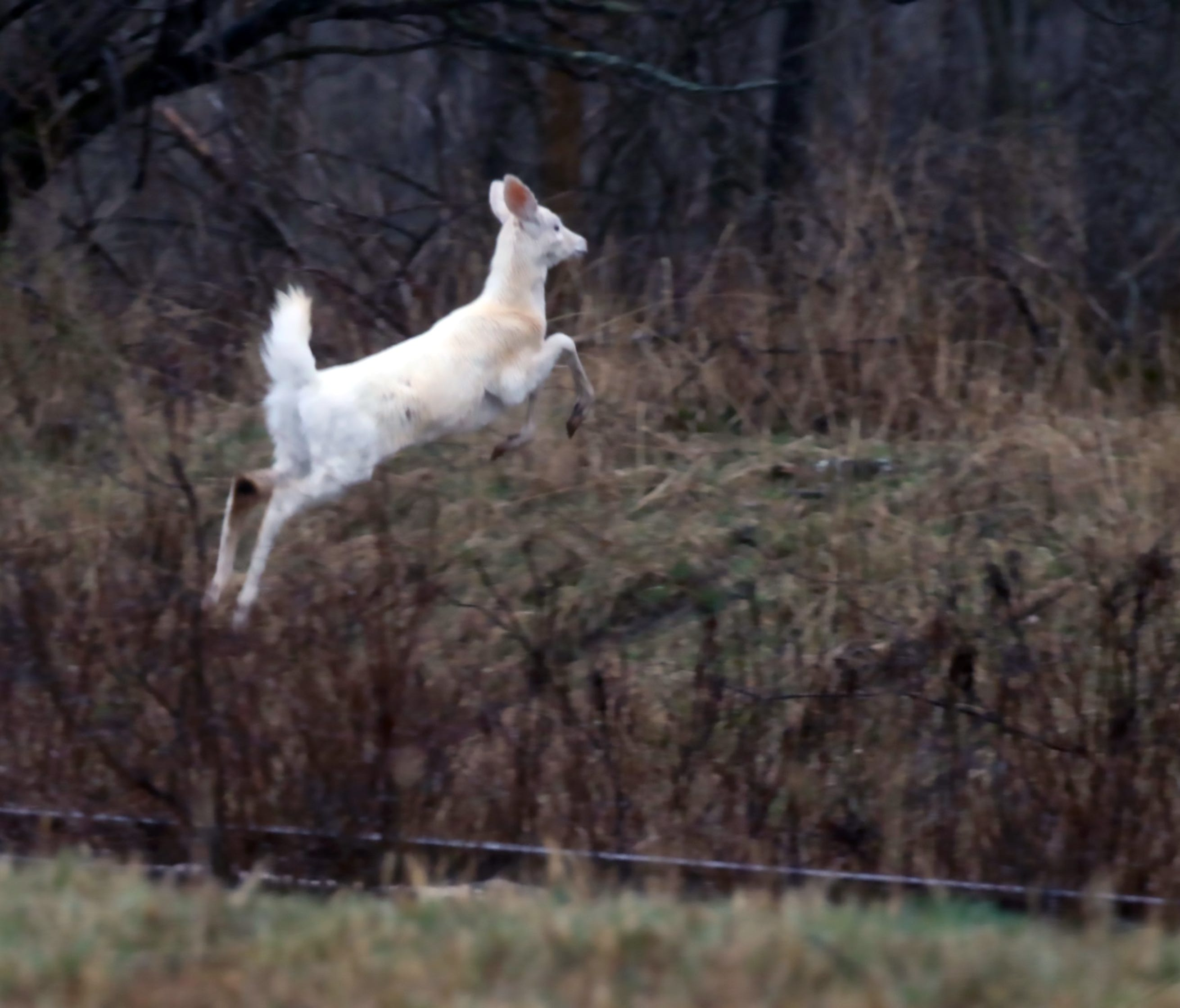 A Seneca white deer leaps over a ditch in part of the former Seneca Army Depot in Romulus, N.Y., that's now Deer Haven Park.