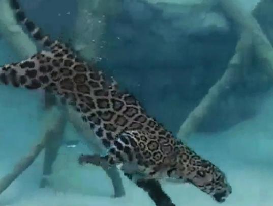 jaguar swimming pool - photo #38