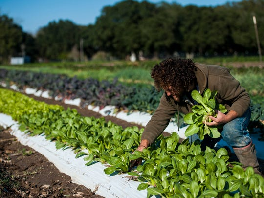 Chaz Jones picks vegetables in a field at Gotreaux Family Farms in Scott, La. The Gotreauxs are working to open Acadiana's first local food hub.