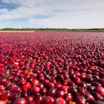 Cranberry growers ask for production cuts to ease glut of berries