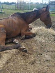 The horse was suffering from malnutrition and infections caused by maggots and sores.