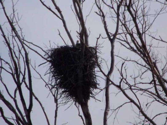 From atop a massive nest, an eagle peers out. The eagle