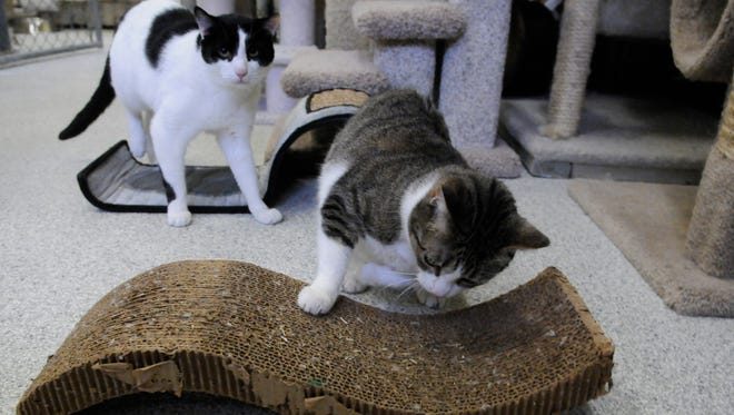 Catnip helps interest cats in an approved scratching surface at the Secaucus Animal Shelter.