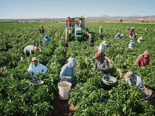 Workers harvest chile on the 350-acre Adams Produce farm on July 25 near Hatch, New Mexico. Efforts are underway to save the green chile that's important to traditional New Mexican fare as labor shortages, a previous severe drought and competition from China, India and Mexico endanger its growth in the state.