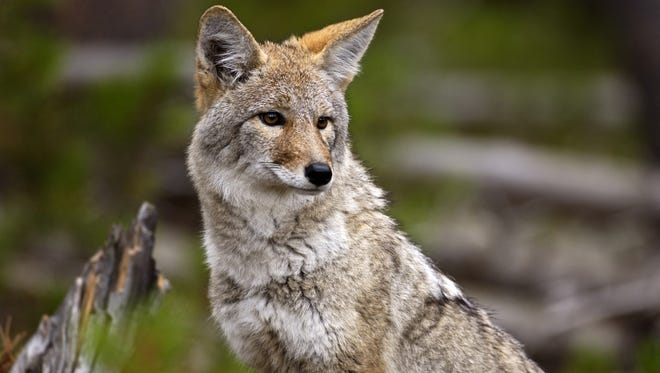 A coyote at Yellowstone National Park, Wyo.