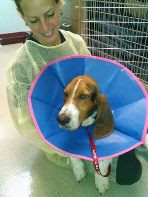 Gabriel, a basset hound who was lost for 42 days, with Animal Control Officer Nancy Gedbaw