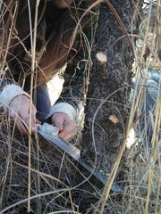 Cora Gonzalez works to cut her selected tree from a