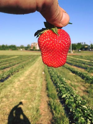 Strawberries are ripe for pickin' at Batey's Berries, 3250 Wilkinson Pike, off Medical Center Parkway in Murfreesboro.