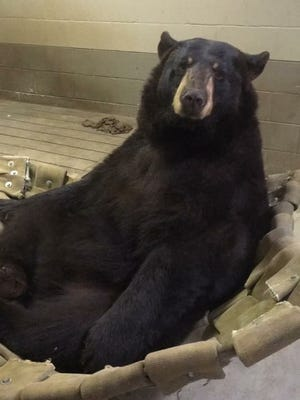Lil' Bear is in captivity at Dickerson Park Zoo.