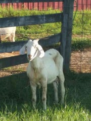 This goat was found near Broadway Lake Road in Anderson.