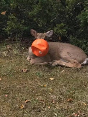 This deer was spotted running through eastside Cincinnati neighborhoods for several days before a group of residents was able to trap the deer long enough to free it.